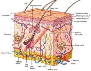 dermis-anatomy-of-the-skin (1)